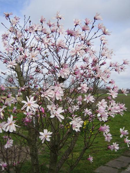 Magnolia loebneri 'Leonard Messel' / Magnolie 'Leonard Messel'