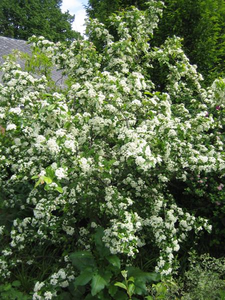 Photinia villosa / Scharlach-Glanzmispel