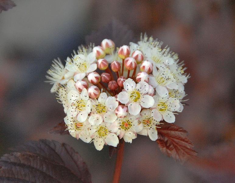 Physocarpus opulifolius 'Diabolo' / Rotlaubige Blasenspiere