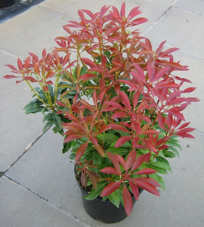 Pieris japonica 'Mountain Fire' / Japanische Lavendelheide 'Mountain Fire'