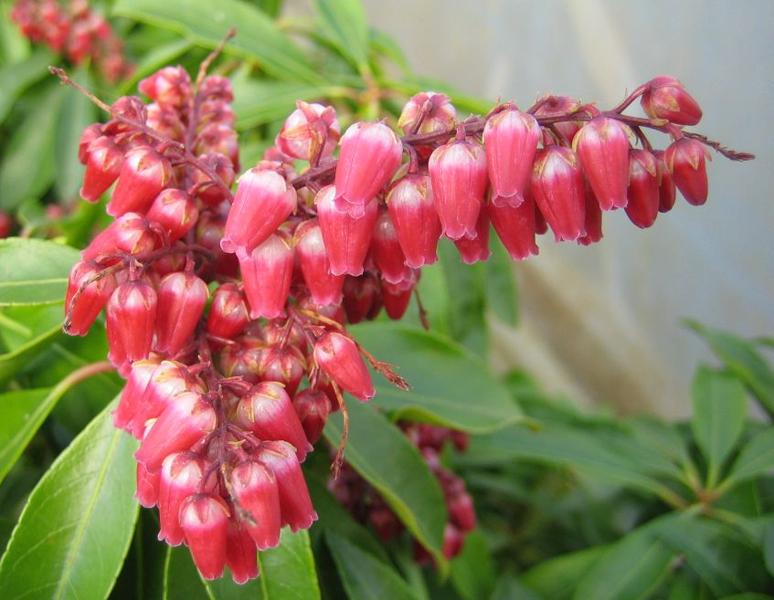 Pieris japonica 'Valley Valentine' / Japanische Lavendelheide 'Valley Valentine'