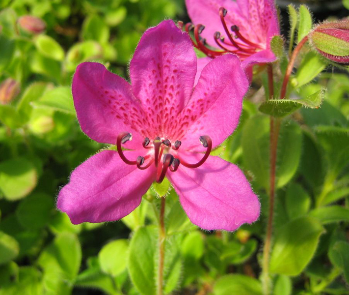 Rhododendron camtschaticum / Kamtschatka-Rhododendron