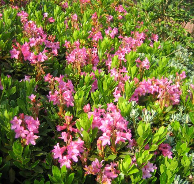 Rhododendron hirsutum / Rauhhaarige Alpenrose