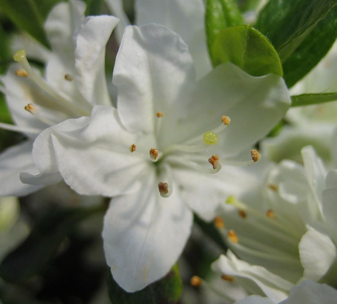 Rhododendron obtusum 'Kermesina Alba' / Japanische Azalee 'Kermesina Alba'