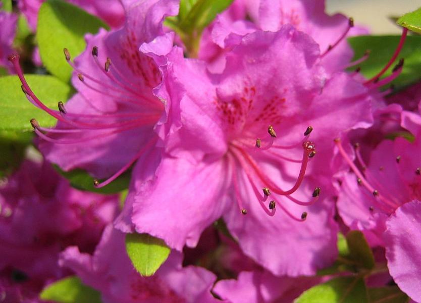 Rhododendron obtusum 'Königstein' / Japanische Azalee 'Königstein'