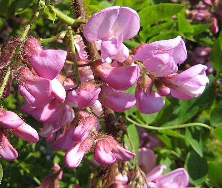 Robinia hispida 'Macrophylla' / Borstige Robinie