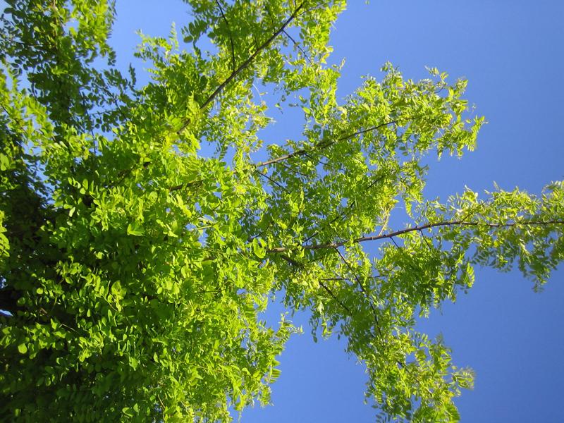 Robinia pseudoacacia 'Frisia' / Gold- Robinie