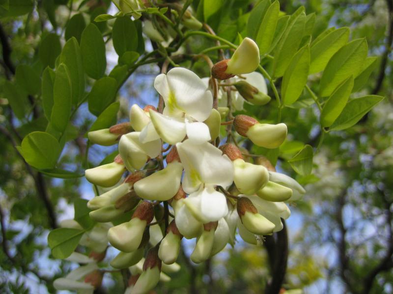 Robinia pseudoacacia 'Tortuosa' / Korkenzieher-Robinie