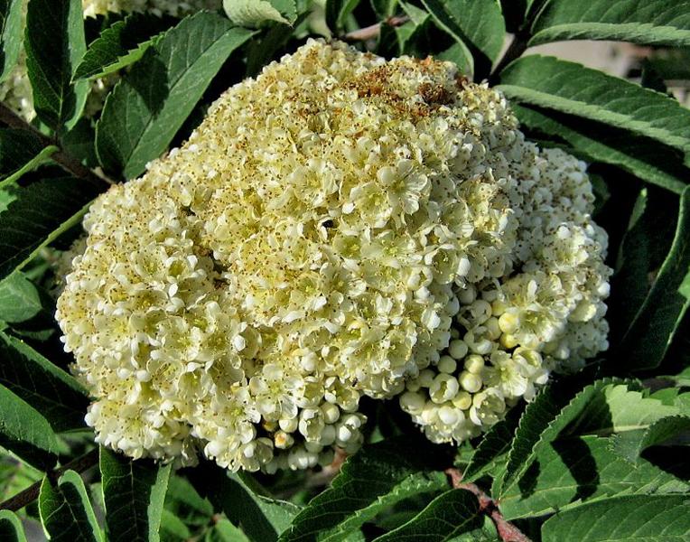 Sorbus aucuparia 'Fastigiata' / Säulen-Eberesche