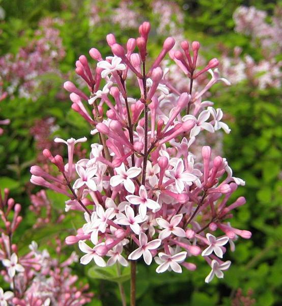 Syringa microphylla 'Superba' / Herbst-Flieder