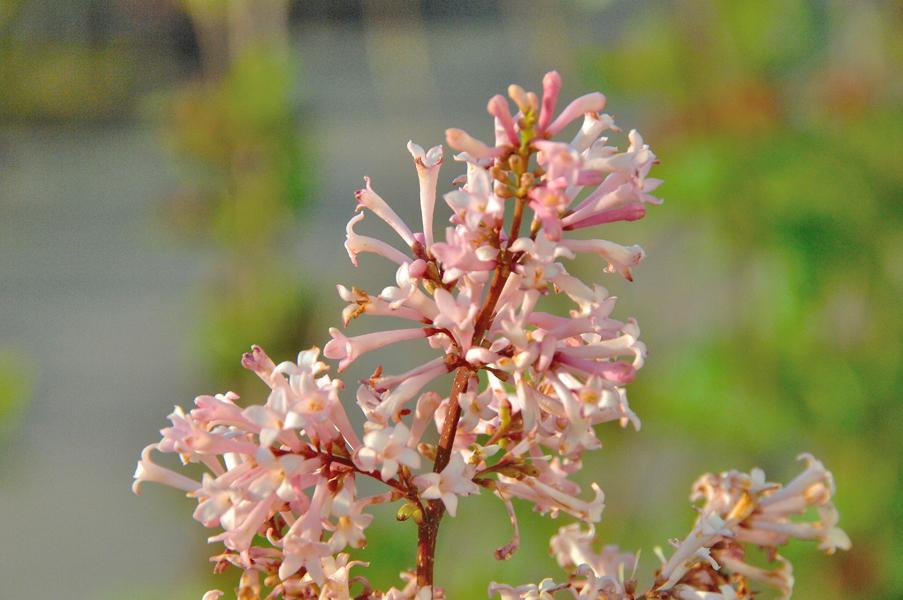 Syringa prestoniae 'Elinor' / botanischer Flieder 'Elinor'