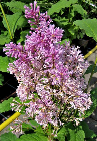 Syringa prestoniae 'Minuet' / botanischer Flieder 'Minuet'
