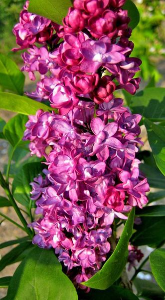 Syringa vulgaris 'Charles Joly' / Flieder 'Charles Joly'