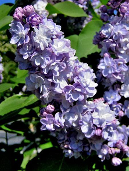 Syringa vulgaris 'Michel Buchner' / Flieder 'Michel Buchner'