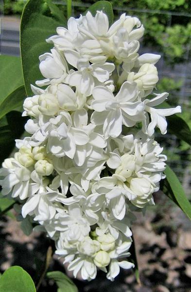 Syringa vulgaris 'Mme. Lemoine' / Flieder 'Mme. Lemoine'