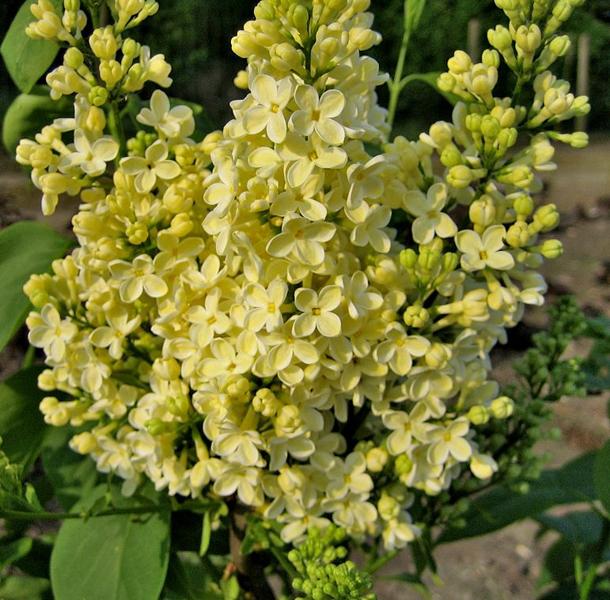 Syringa vulgaris 'Primrose' / Flieder 'Primrose'