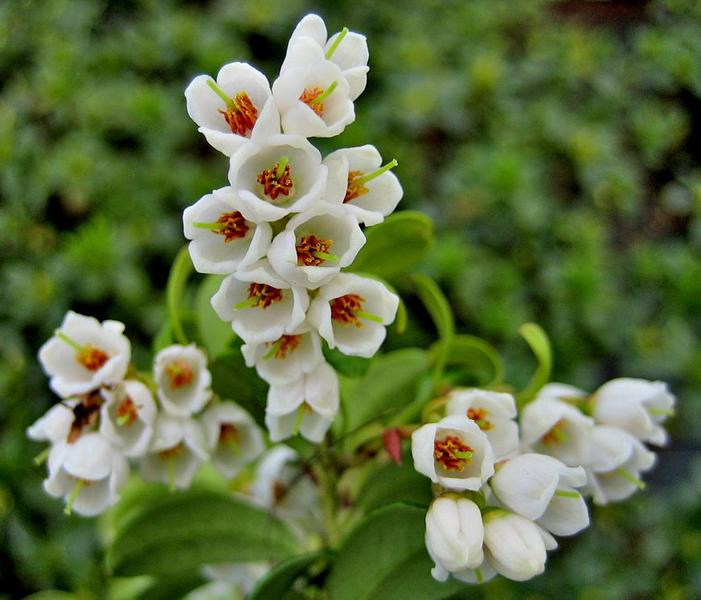 Vaccinium vitis-idaea 'Red Pearl' / Preiselbeere