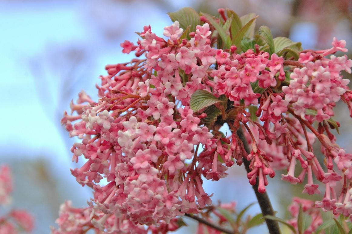 Viburnum bodnantense 'Dawn' / Winter-Schneeball