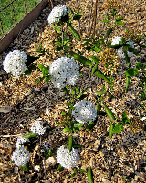Viburnum burkwoodii / Oster-Schneeball