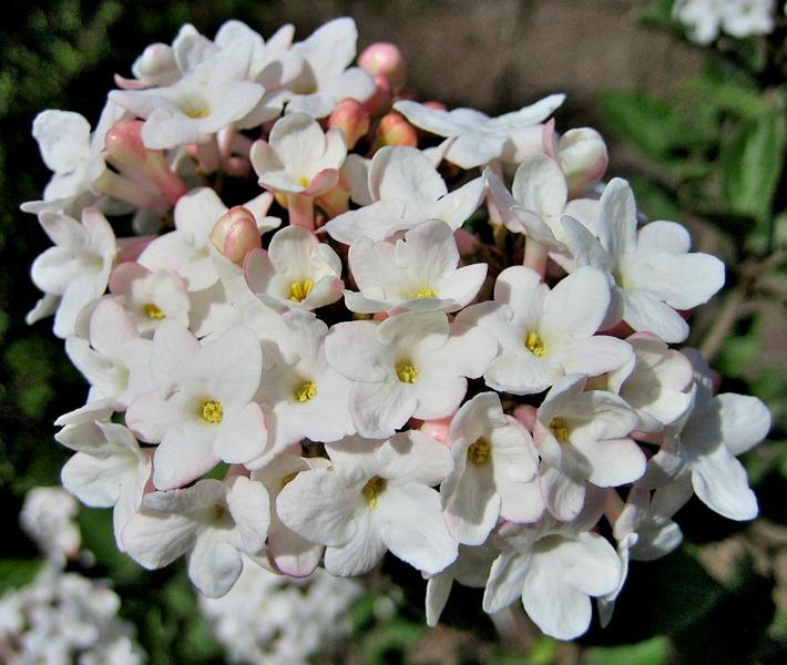 Viburnum carlesii / Koreanischer Duft-Schneeball