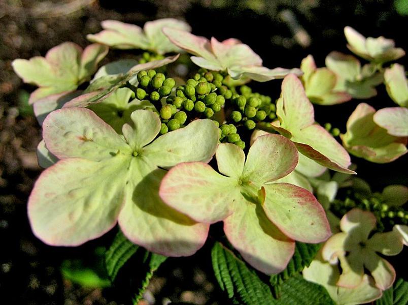 Viburnum plicatum 'Pink Beauty' / Japanischer Schneeball 'Pink Beauty'