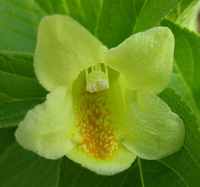Weigela middendorffiana / Gelbe Weigelie