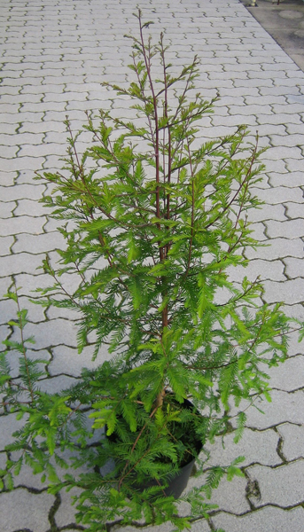 Taxodium distichum / Sumpfzypresse