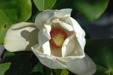 Magnolia x wiesneri / Wiesner´s Magnolie