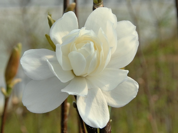 Magnolia loebneri 'Wildcat' / Magnolie 'Wildcat'