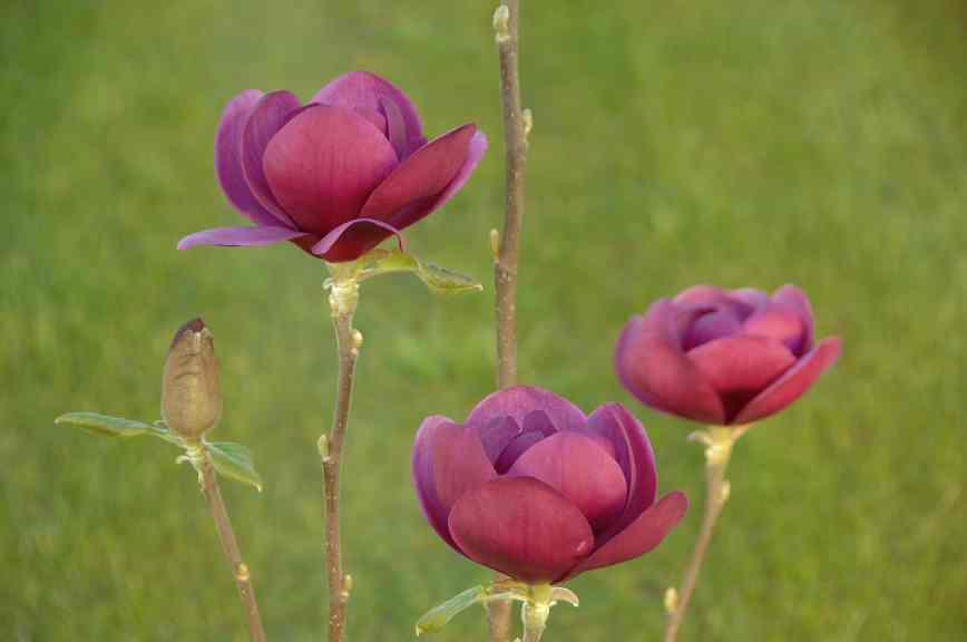 Magnolia hybrida 'Black Tulip' / Magnolie 'Black Tulip'