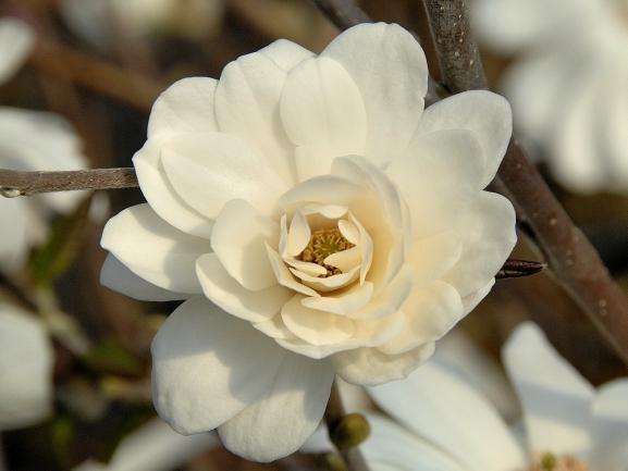 Magnolia loebneri 'Mag´s Pirouette' / Magnolie 'Mag´s Pirouette'